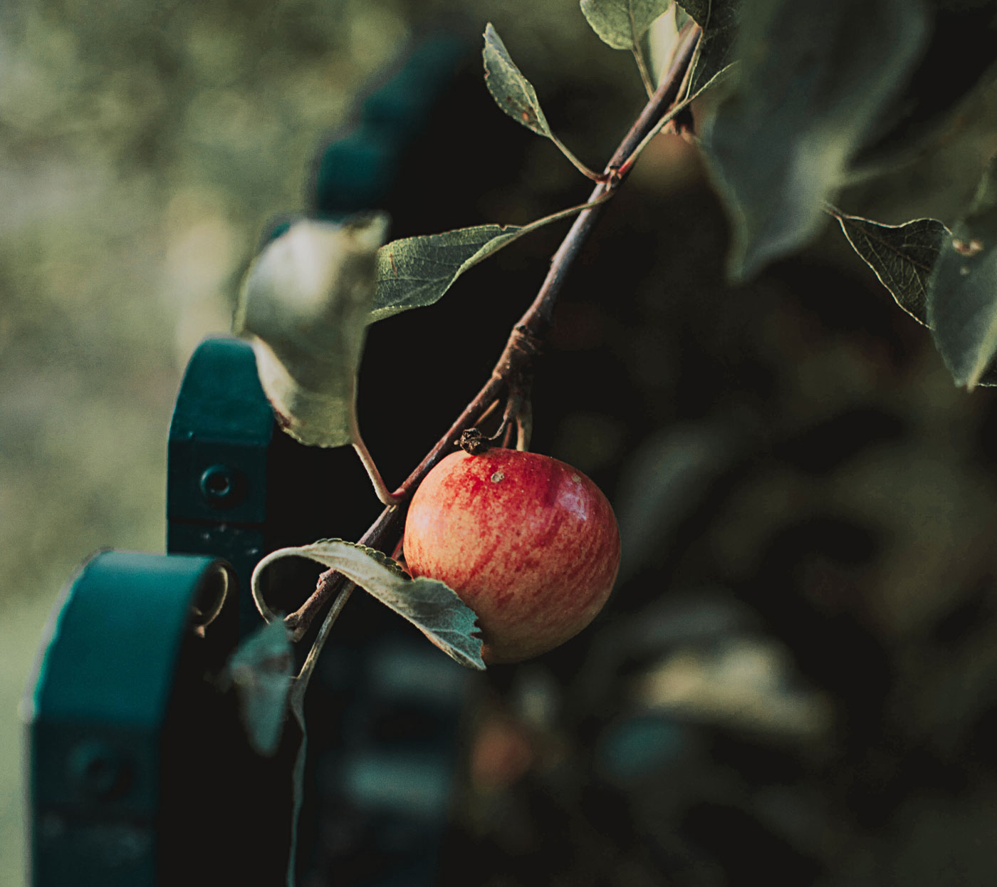 apple-apple-tree-branch-1425358